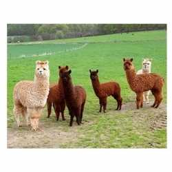 Dieren magneet 3d alpacas