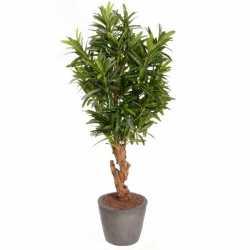Oleander struik 130 840 bladeren